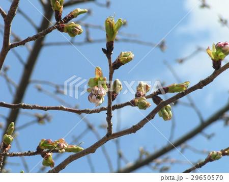 やっと桃色になって来たオオシマザクラの蕾 29650570