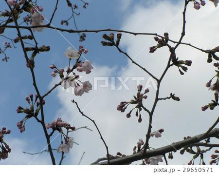 咲き始めた高洲プールのオオシマザクラの花 29650571