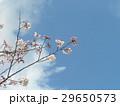 咲き始めたこじま公園ソメイヨシノの花 29650573