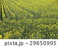 菜の花畑 29650995