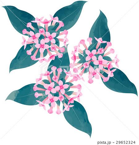 誕生花・11月・ブバルディアのイラスト素材 [29652324] , PIXTA