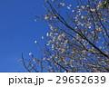 花 桜 さくらの写真 29652639