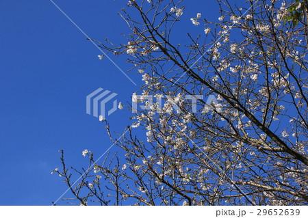 早春の寒桜 29652639