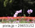 秋の花コスモス 29653152
