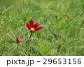 秋の花コスモス 29653156