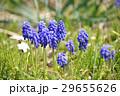 ムスカリ 花 ムスカリ・アルメニアカムの写真 29655626