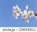 花 春 桜の写真 29656811