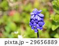 ムスカリ 花 ムスカリ・アルメニアカムの写真 29656889