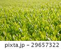 お茶 茶 野原の写真 29657322