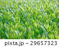 お茶 茶 野原の写真 29657323