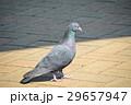 ドバト ハト 野鳥の写真 29657947