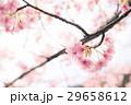 花 桜 サクラの写真 29658612