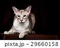 バックグランド ねこ ネコの写真 29660158
