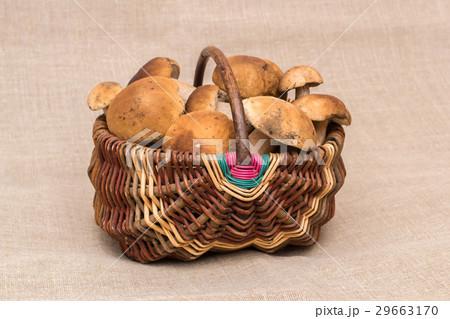 Group of porcini mushrooms on linen. Cep mushrooms in the basket.の写真素材 [29663170] - PIXTA