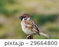小鳥 雀 鳥の写真 29664800