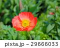 ヒナゲシ 雛芥子 シャーレイポピーの写真 29666033