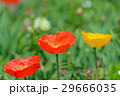 ヒナゲシ 雛芥子 シャーレイポピーの写真 29666035