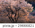 山桜 29666821