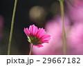 花 コスモスの花 センセーションの写真 29667182