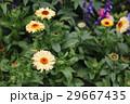 お花 フラワー 咲く花の写真 29667435