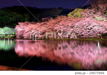 【神奈川県】 三渓園・桜 29673906