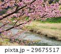 青野川と河津桜 29675517