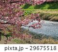 青野川と河津桜 29675518