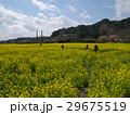 下賀茂の菜の花畑は春爛漫 29675519