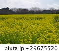 下賀茂の菜の花畑は春爛漫 29675520