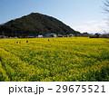 下賀茂の菜の花畑は春爛漫 29675521