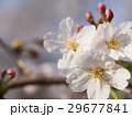 桜 29677841