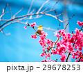 桜 さくら サクラの写真 29678253