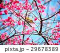 桜 さくら サクラの写真 29678389
