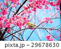 桜 さくら サクラの写真 29678630