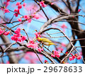 桜 さくら サクラの写真 29678633