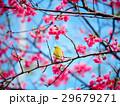 桜 さくら サクラの写真 29679271