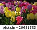 花壇のチューリップ 29681583