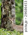 シカ エゾシカ 動物の写真 29686453