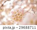 桜 春 花の写真 29688711