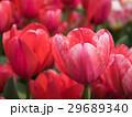 チューリップ 花 植物の写真 29689340