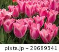 チューリップ 花 植物の写真 29689341