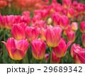 チューリップ 花 植物の写真 29689342