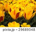 チューリップ 花 植物の写真 29689348