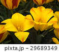 チューリップ 花 植物の写真 29689349