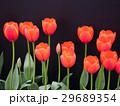 チューリップ 花 植物の写真 29689354