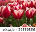 チューリップ 花 植物の写真 29689356
