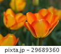 チューリップ 花 植物の写真 29689360