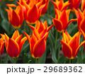 チューリップ 花 植物の写真 29689362