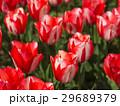 チューリップ 花 植物の写真 29689379