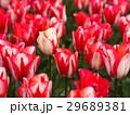チューリップ 花 植物の写真 29689381